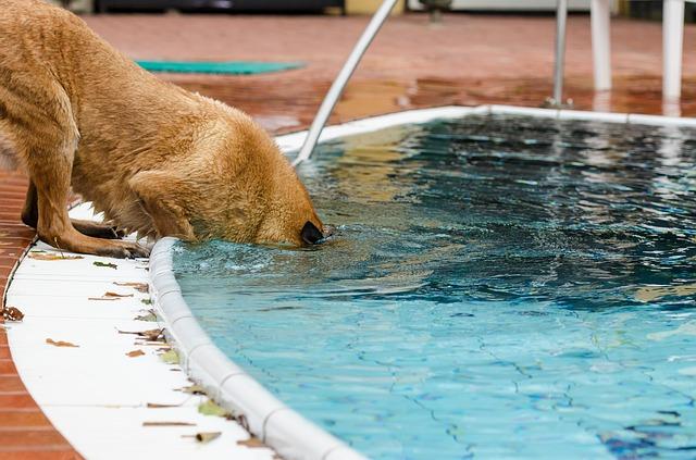belgický ovčák u bazénu